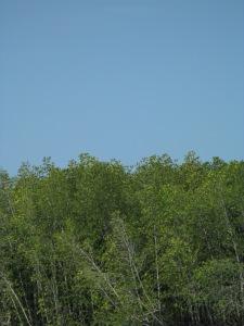 mangrove3101 059